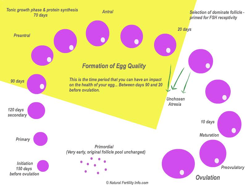 яйцеклетки